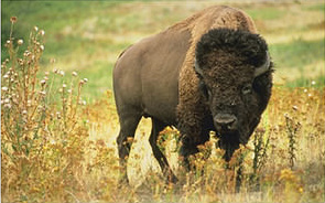 Picture of a bison (buffalo)